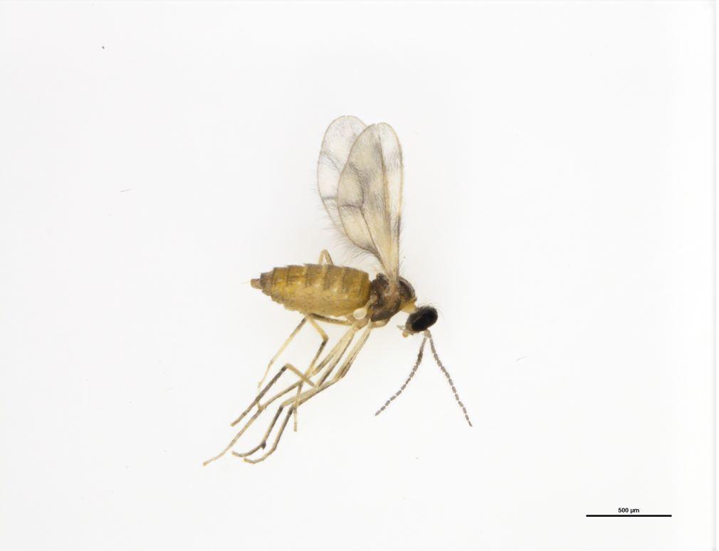 Canola-flower-midge-female