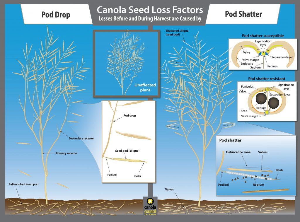 Canola pod shatter and pod drop illustration