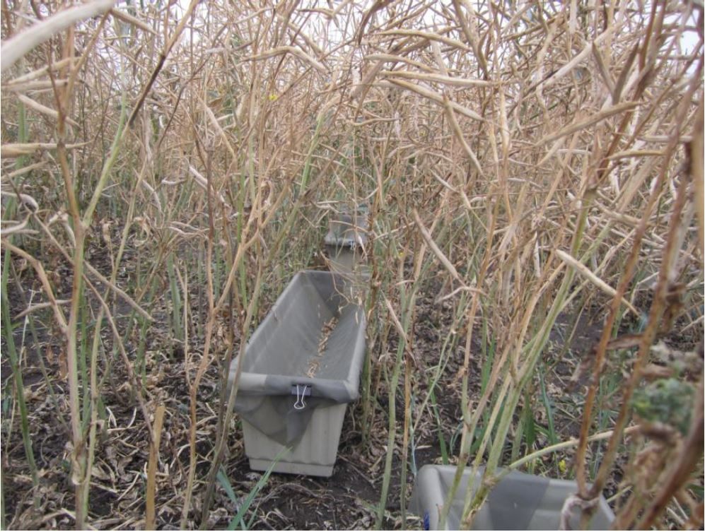 Trays placed between rows to collect canola seeds and pods