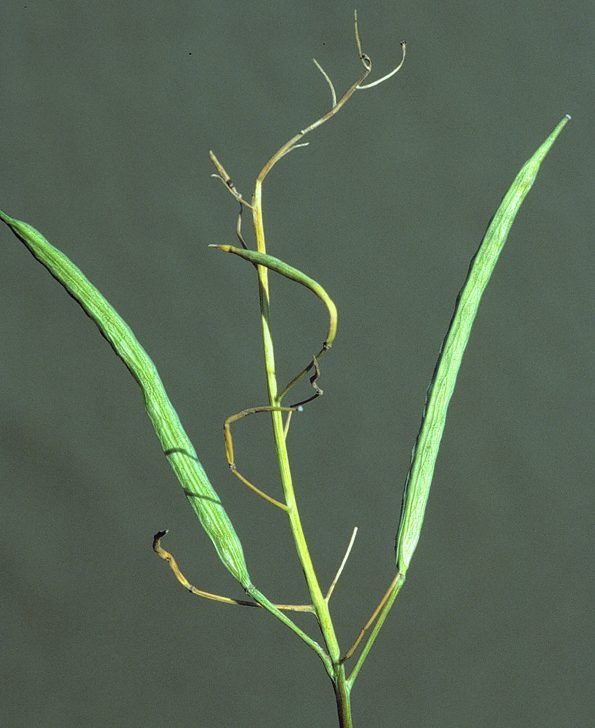 Pods of a canola plant infected by Fusarium wilt