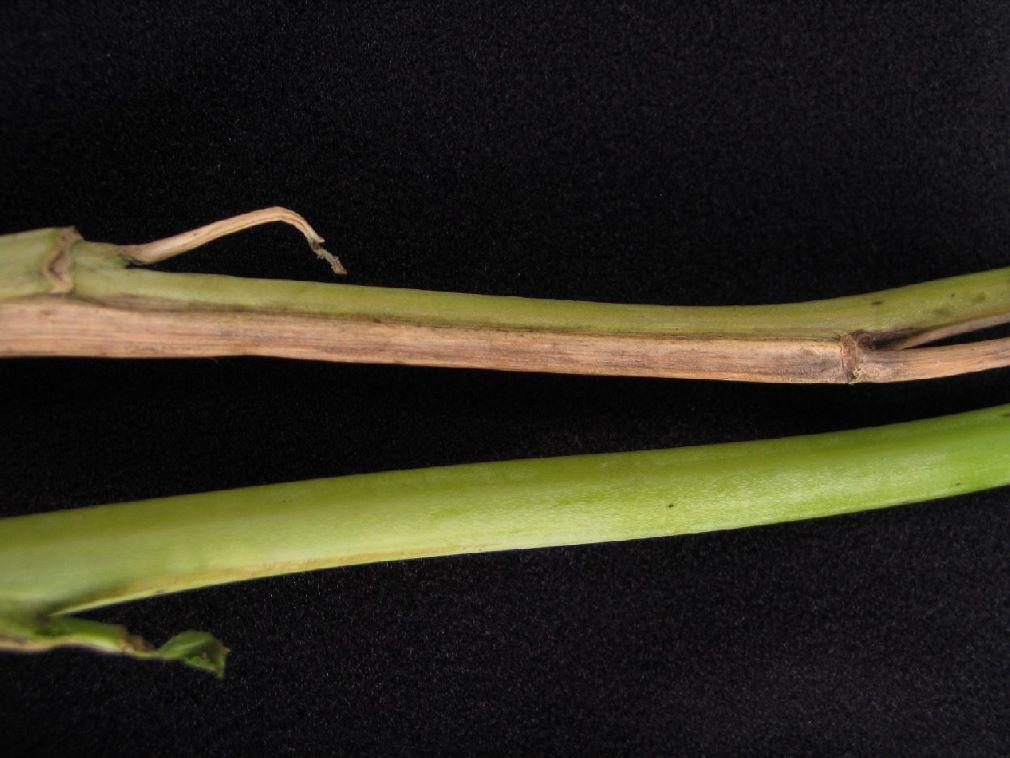Leaf chlorosis on a canola leaf caused by fusarium wilt