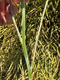 Powdery mildew on a canola plant stem