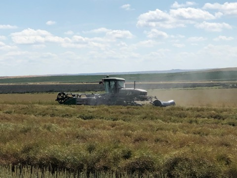 Powdery mildew dust being released when swathing infected canola plants