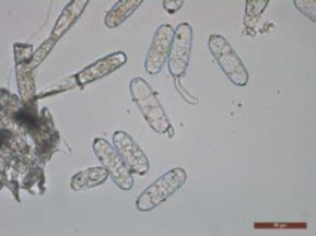 Powdery mildew causing fungus