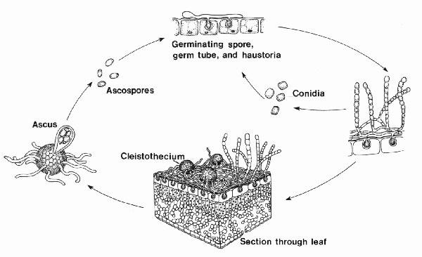 Powdery mildew disease cycle